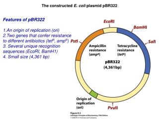 The constructed  E. coli  plasmid pBR322