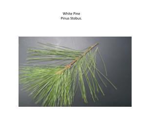White Pine  Pinus Stobus.