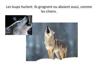 Les loups hurlent. Ils grognent ou aboient aussi, comme les chiens.