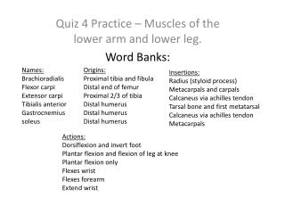 Quiz 4 Practice – Muscles of the lower arm and lower leg. Word Banks:
