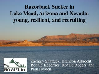 Razorback Sucker in  Lake  Mead, Arizona and Nevada:  young , resilient, and recruiting