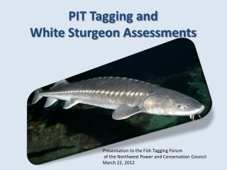 PIT Tagging and  White Sturgeon Assessments