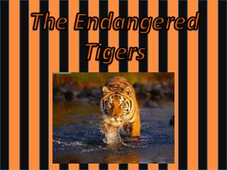 The Endangered Tigers
