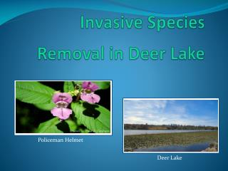 Invasive Species Removal in Deer Lake