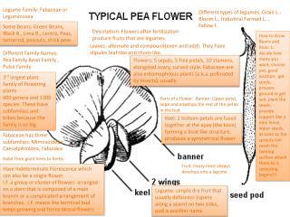 Legume Family: Fabaceae or Leguminosea