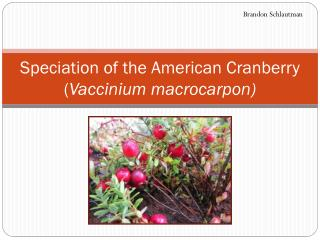 Speciation of the American Cranberry ( Vaccinium macrocarpon )