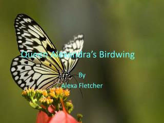 Queen Alexandra�s Birdwing