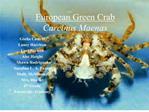 European Green Crab  Carcinus Maenas