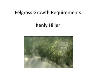 Eelgrass Growth Requirements Kenly Hiller