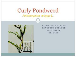 Curly Pondweed Potamogeton crispus  L.