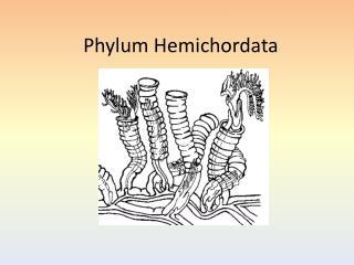Phylum Hemichordata