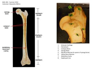 Articular Cartilage Periosteum Compact Bone Spongy Bone Red Bone Marrow (In spaces of spongy bone)