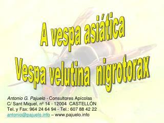 A vespa asiática Vespa velutina  nigrotorax