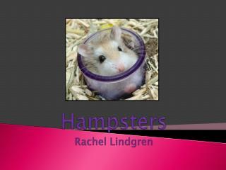 Hampsters Rachel Lindgren