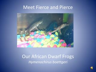 African dwarf frogs