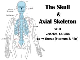 The Skull  &  Axial Skeleton