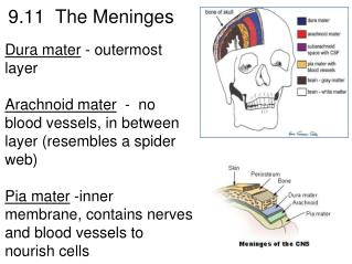 9.11 The Meninges