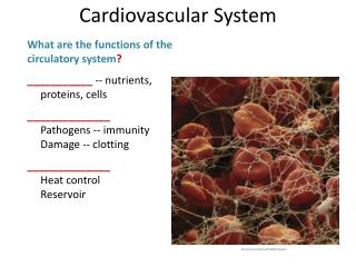 What  are  the  functions  of the  circulatory  system ?