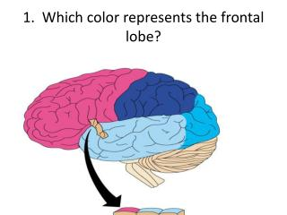 1.  Which color represents the frontal lobe?