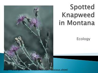 Spotted Knapweed in Montana
