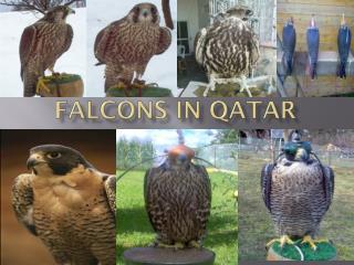 Falcons in Qatar