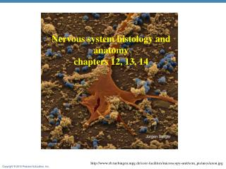Nervous system  histology and anatomy  chapters  12, 13, 14