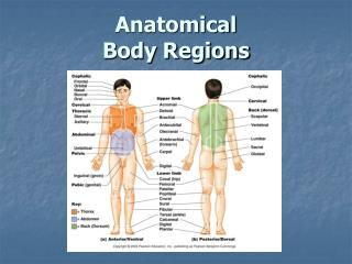 Anatomical Body Regions