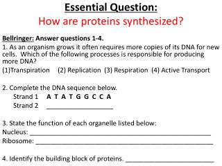 Essential Question: How  are proteins synthesized?