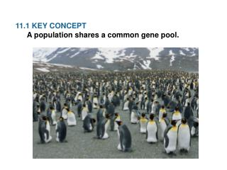 11.1 KEY  CONCEPT  A population shares a common gene pool.