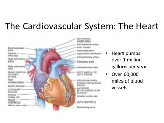 The Cardiovascular System: The Heart