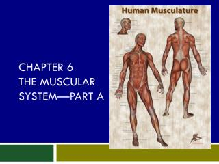 Chapter 6 The Muscular System—Part A
