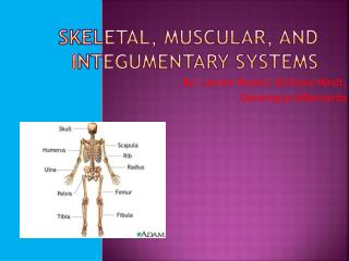 Skeletal, Muscular, and  I ntegumentary Systems