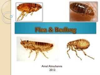 Flea & Bedbug