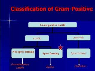 Aerobic Gram positive bacilli     1     2      3  4              5