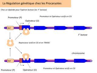 La Régulation  génétique chez  les Procaryotes