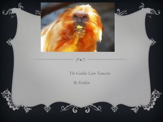 The Golden Lion  Tamarin By  Kaitlyn
