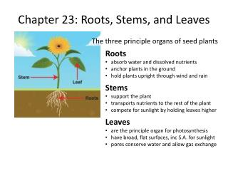 Chapter 23: Roots, Stems, and Leaves