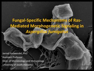 Fungal-Specific Mechanisms of  Ras -Mediated Morphogenetic Signaling in  Aspergillus fumigatus