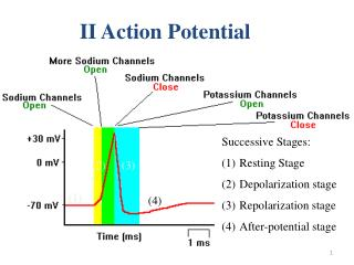 II Action Potential