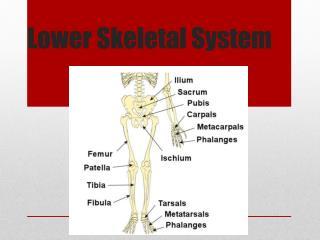 Lower Skeletal System
