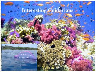 Interesting Cnidarians