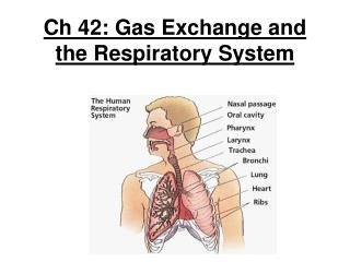 Ch 42: Gas Exchange and the Respiratory System