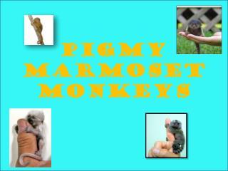 Pigmy marmoset monkeys