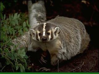 Badger Taxidea taxus