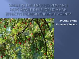 What is the Englis h Yew and how has it developed as an Effective Chemotherapy Agent?