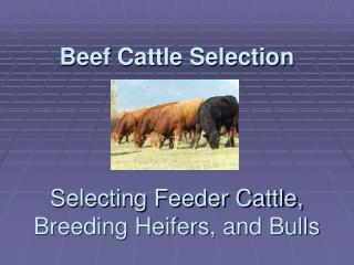 Beef Cattle Selection      Selecting Feeder Cattle, Breeding Heifers, and Bulls