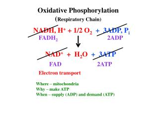 Oxidative  Phosphorylation ( Respiratory Chain)