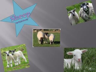 Sheep By: Kayla  Beechy