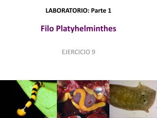 LABORATORIO: Parte 1 Filo Platyhelminthes