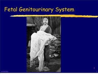 Fetal Genitourinary System